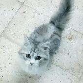 قطط للبيع مع اغراضها