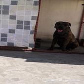كلب بيتبول