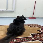 للبيع قطه شيرازيه ع السوم