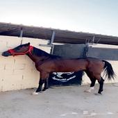 حصان شعبي عمره سنتين 10 شهور