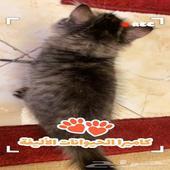 قطط شيرازي من ام شيرازيه واب مون فيس عمر شهرين