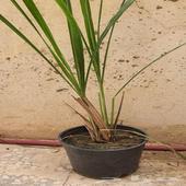 نباتات زينه ومنزلين عطرية