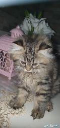 قط كتن شيرازي العمر شهرين