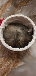 قطة للبيع العمر شهرين