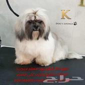 كلب شيتزو بيور .تم للبيع