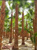 متخصصون في زراعة النخيل والانجيلا