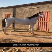 حصان جزيري شيخ