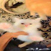 قطط شيرازي للبيع العدد 3 العمر شهر وشوي اللون ابيض