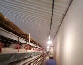 دجاج ابيض بياض سعر الحبه 3 ريال