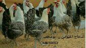 دجاج فيومي ( مختلف الاعمار)