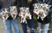 Beautiful S. Husky pups