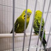 بادجي طيور الحب طيور الزينه