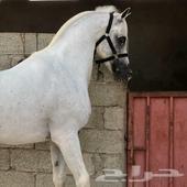 حصان شعبي كفوو