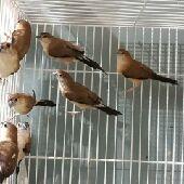 طائر الزيبرا البلدي