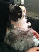(قطة شيرازي لون فاخر ) تم البيع