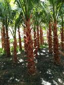 Washingtonia for sale