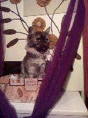قطة ماين كوين