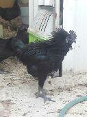 بيض دجاج اندنوسي