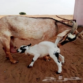للبيع عنز بيشية أصيلة