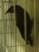 طيور فرخين ميني وجوز لوري