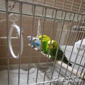 عصافير الحب. البادجي هولند