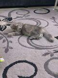 قطة شيرازي (مون فيس)