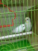 البادجي طيور الحب