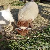للبيع خروف نعيمي