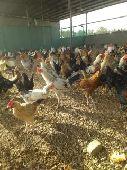 دجاج صوص بلدي خيبر