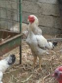 دجاج فارسي للبيع