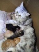 جده - قطه شيرازي بيور