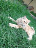 قطط للتزاوج هاف بيكي