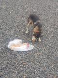 كلب هاسكي 4شهور