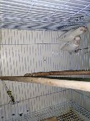 زوج روز البينو صافي مع فرخين-الهفوف(تم البيع)