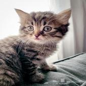 قط قطه قطط صغيره للبيع الفيس كيوت