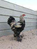 للبيع طقم دجاج براهما فاخر