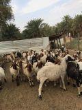 غنم نعيم 50 رأس للبيع