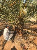 زراعه النخيل وتركيب الشبوك واحياء المزارع