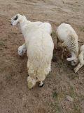 خروف ثني جبر