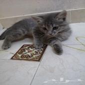 قطة شيرازية عمر شهرين