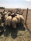 العدد  150 خرفان نعيم هرافى غنم تم البيع