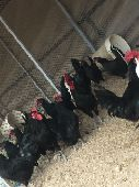 دجاج بلدي اسود صك بشاير قريب بيض