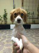 كلب فرنسي للبيع كلاب زينه n