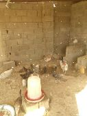 دجاج فيومي وبلدي عدد75