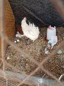 دجاج البيع سكاكا الجوف