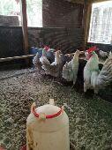 دجاجات  بلدي