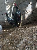 دجاج شاموالماني إنتاج خوارج