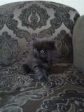 قطه انثى بيرشن بيكي فيس