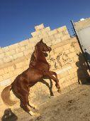 حصان واهو جميييل للبيع