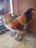 دجاج براهما بوف